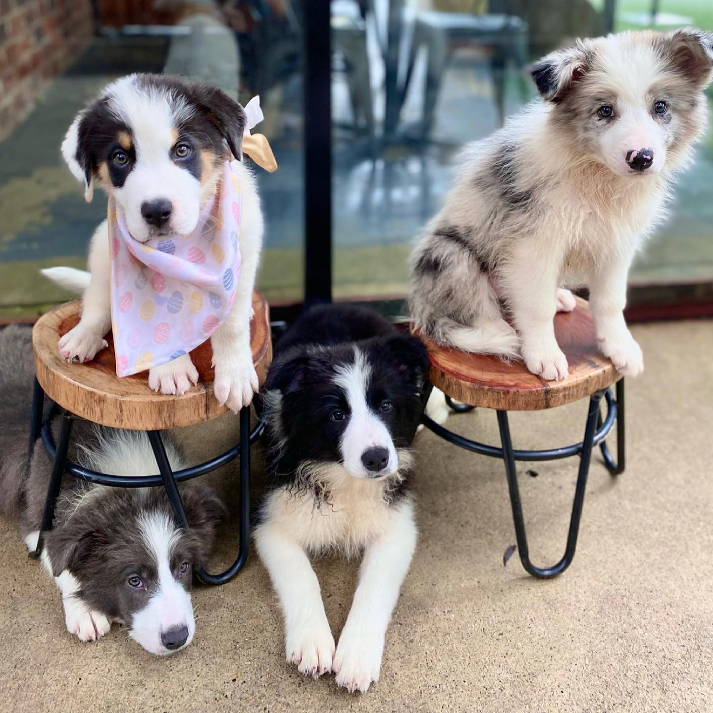 Border Collie puppies sitting on and around stools