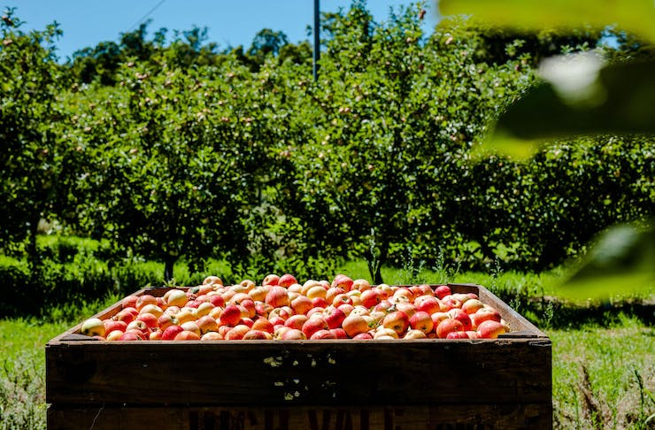 a large box of apples in an orchard