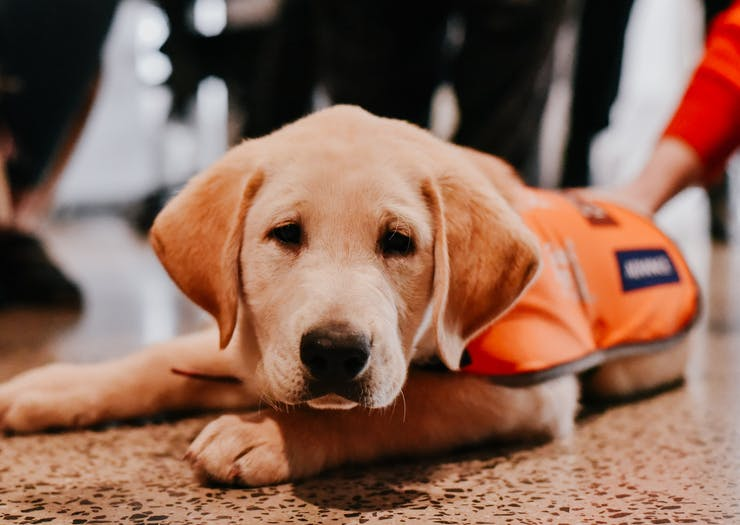 Guide Dogs Australia Just Launched A Big Fundraising Push