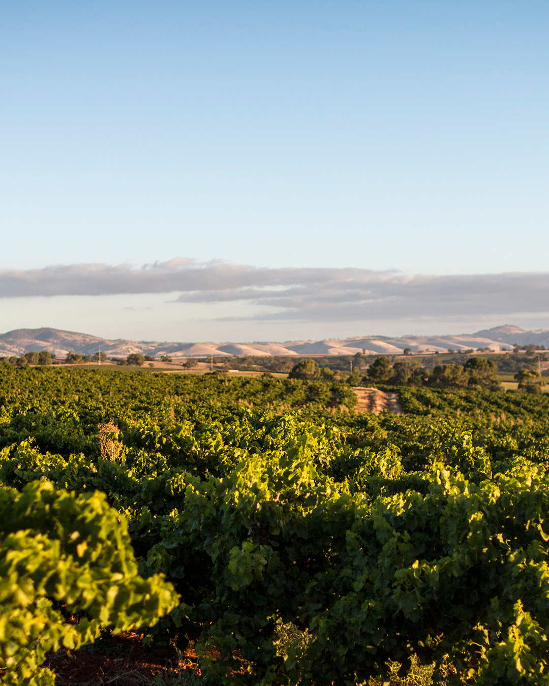 a stunning vista of a rolling vineyard in the Barossa Valley