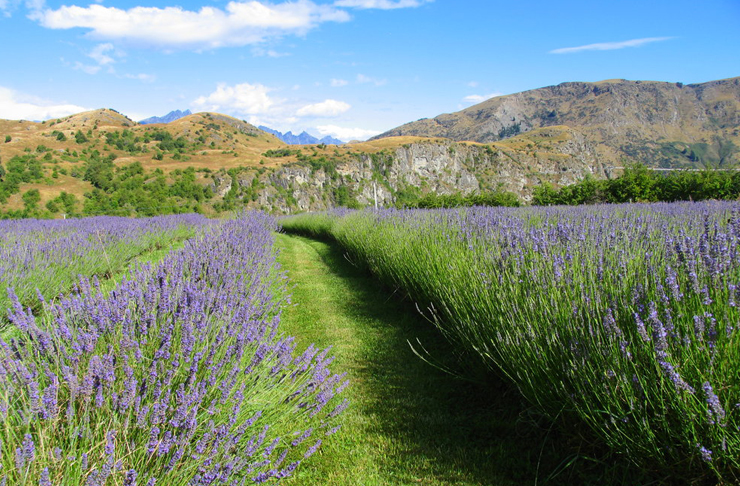 Rows of lavender against a backdrop of rolling hills and blue skies