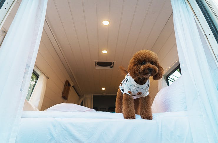 A dog in pyjamas standing on the edge of a bed.