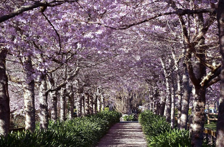 The beautiful cherry blossom trees at the Cherry Blossom festival in the Waikato.