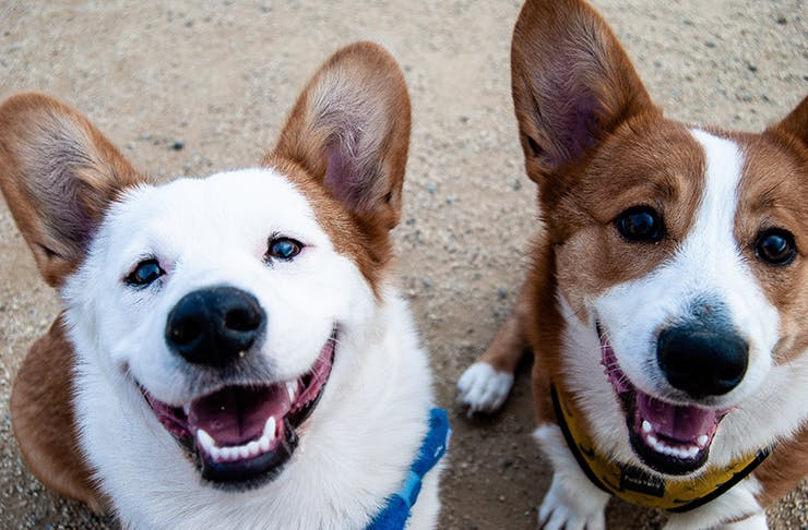 Two corgi dogs looking up at the camera smiling.