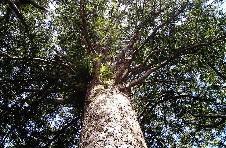 Help Save Our Kauri