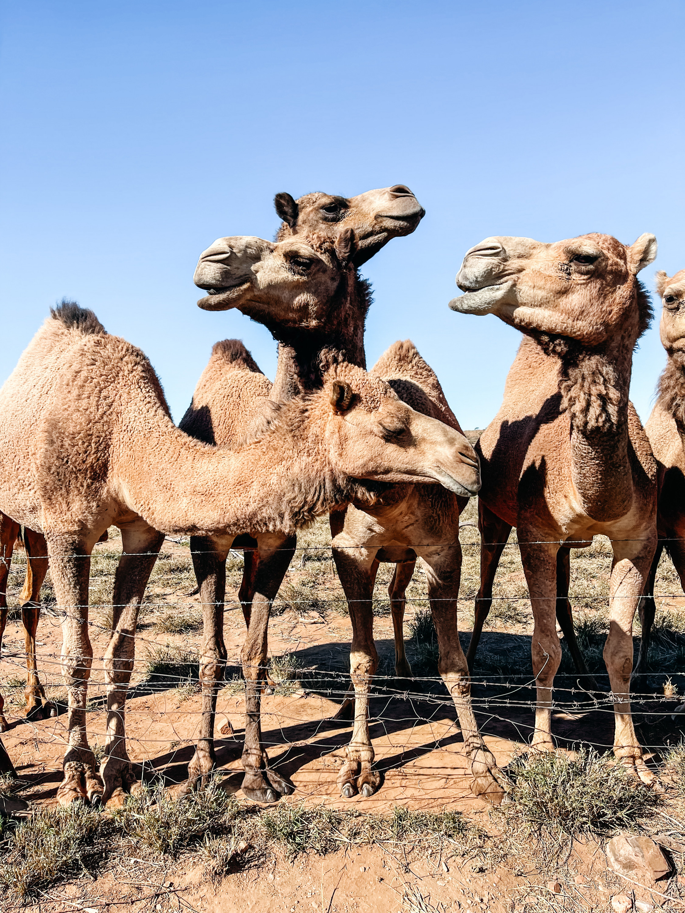 a row of camels at a fence