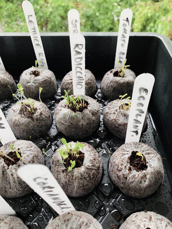 A series of little seedlings sit side by side wrapped in coconut husk.