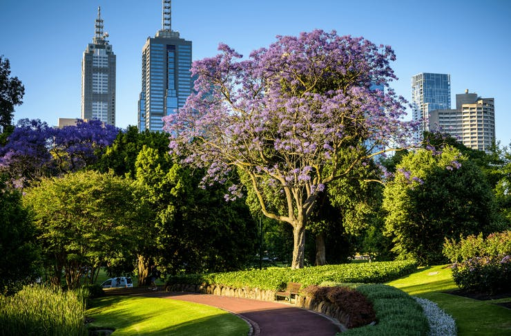 A shot of a jacaranda tree with the CBD in the background.