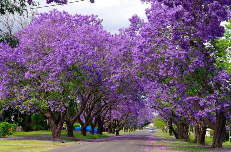 A purple street in Australia Jacarangas-Grafton