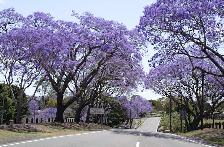 blooming jacaranda trees over a road