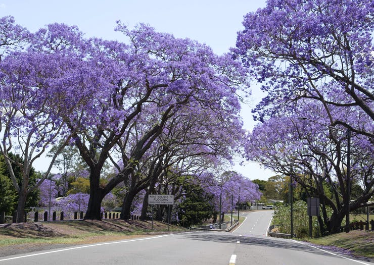 Paint The Town Purple With Brisbane's Most Beautiful Jacaranda Walks