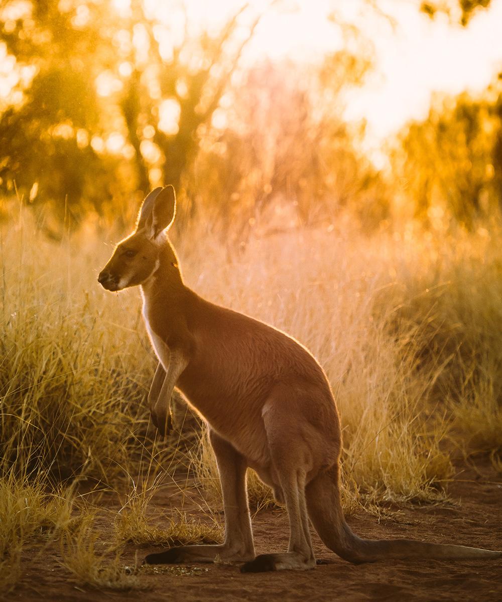 A Kangaroo in The Kangaroo Sanctuary