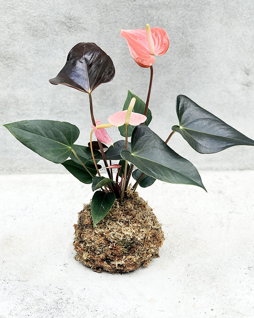 Kokedama plant at the Babylon Store