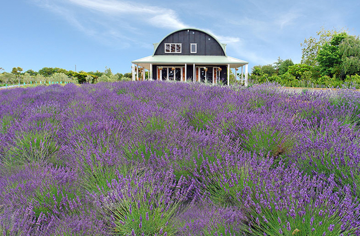 A barn sits in the distance, with bushes upon bushes of lavender in the foreground