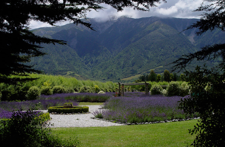 Lavender covers the foreground with rolling mountains in the background