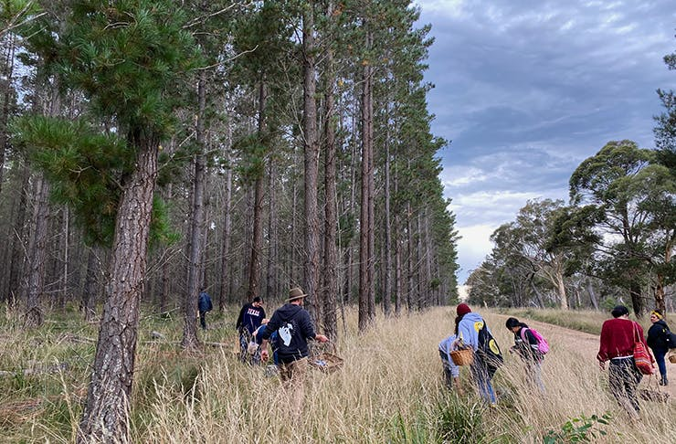 A wide field of pine trees and high grass with people searching over it in winter garments.