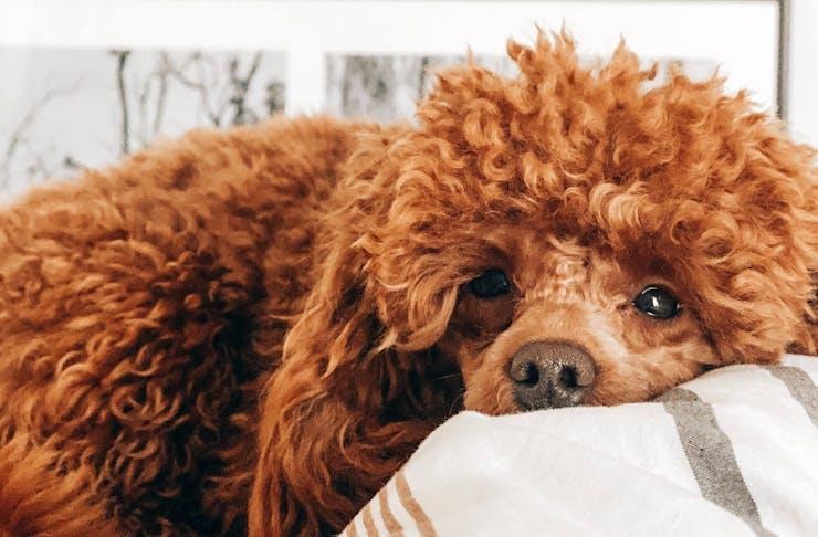 An auburn poodle lies on a blanket