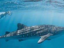Grab Your Bathers, The Ningaloo Whale Shark Season Has Arrived Early