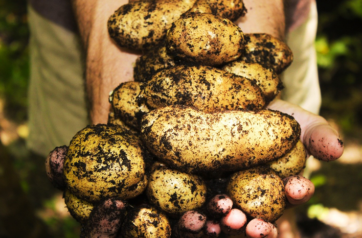 Small potatoes covered in dirt as they are dug fresh from the earth