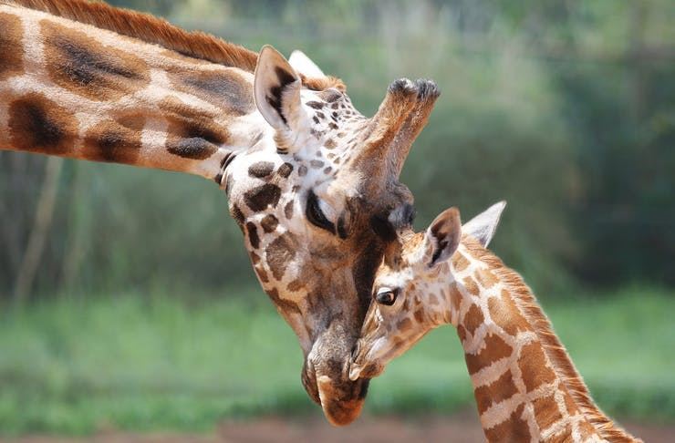 A mother and baby giraffe touching heads