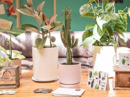 Indoor Plants In Pink Pots On Wooden Table