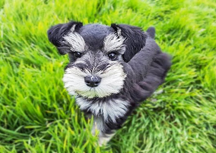 A Schnauzer Celebration Is Happening On The Sunshine Coast This Weekend