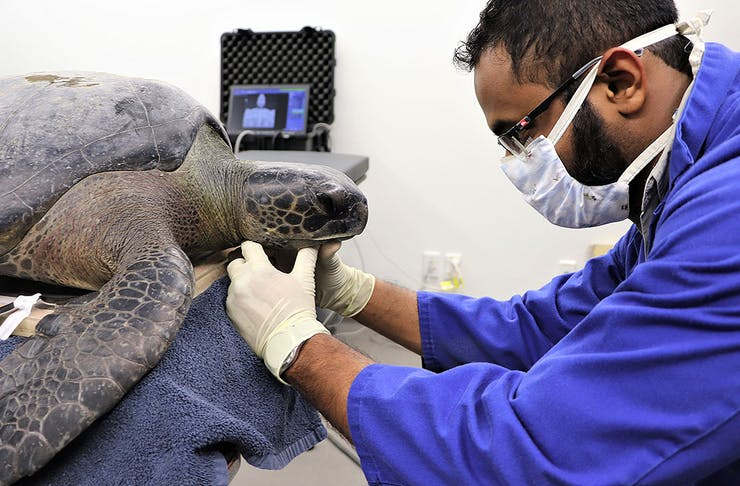 A vet checks over the rare turtle that washed up on Takapuna beach.