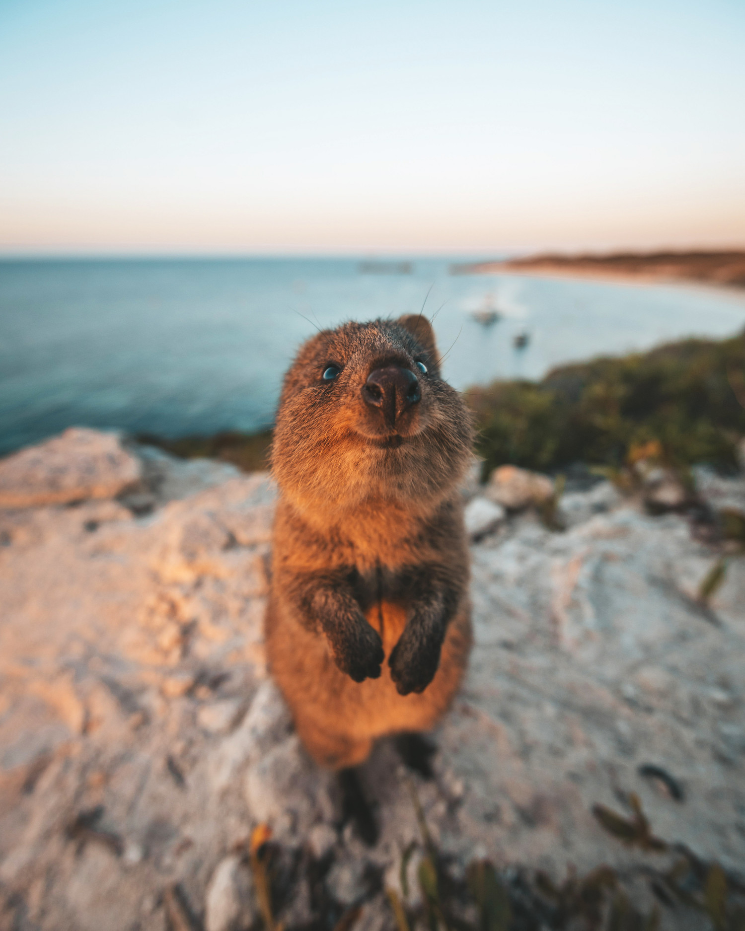 A smiling quokka stands on a clifftop edge.