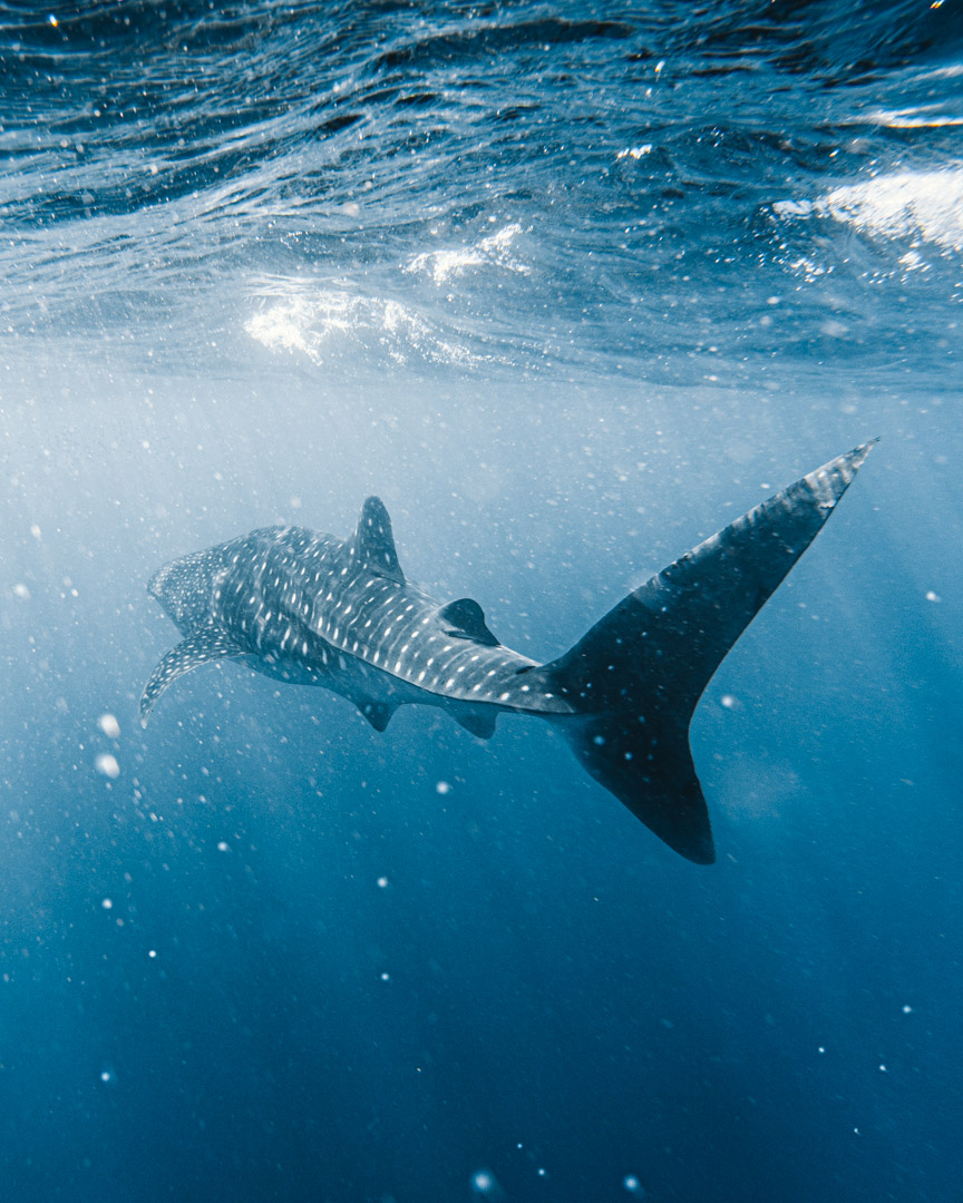 A whale shark swims through the water