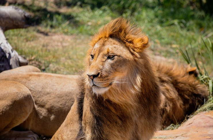 Sydney Zoo Lion