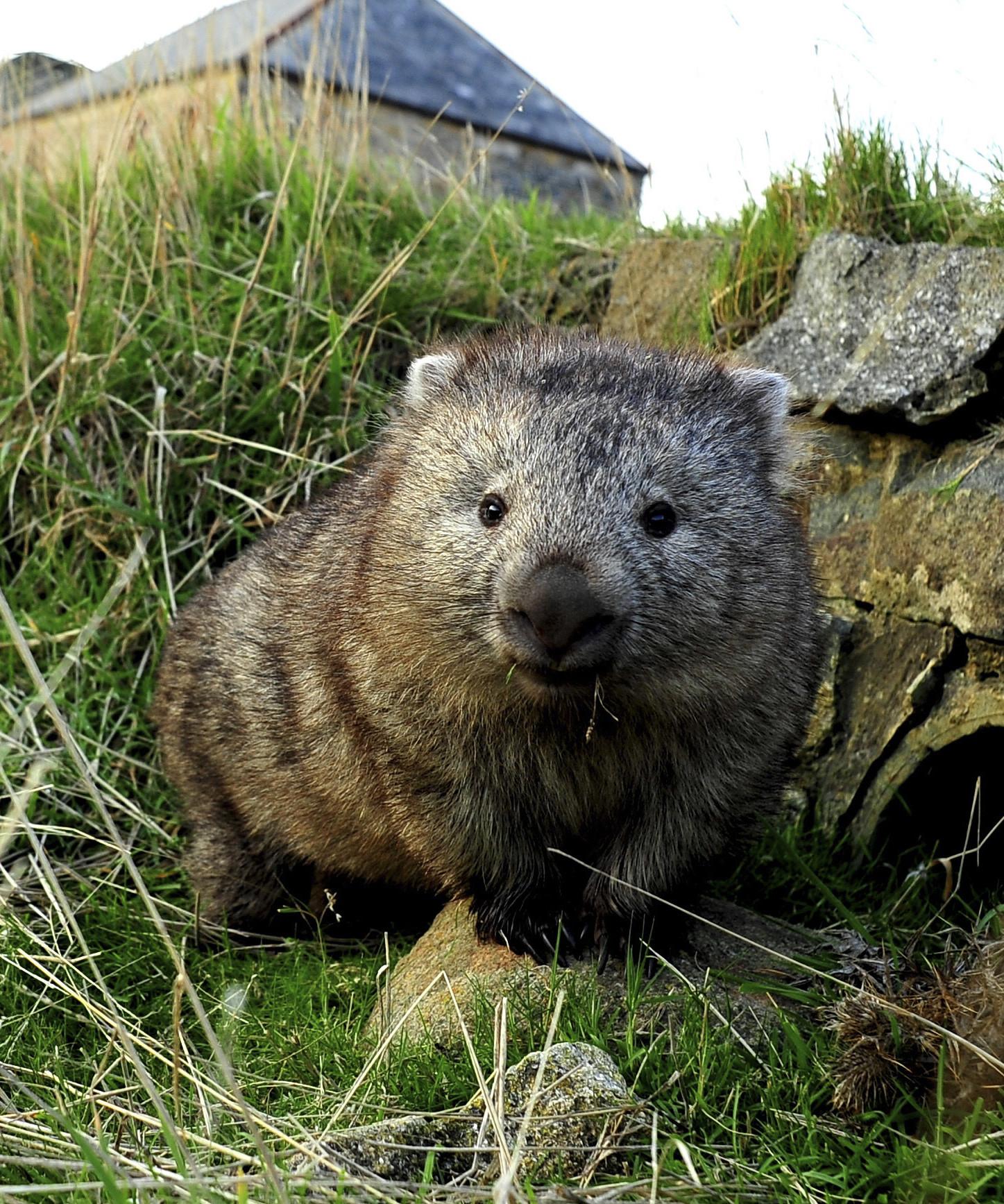 A wombat on Maria Island, Tasmania