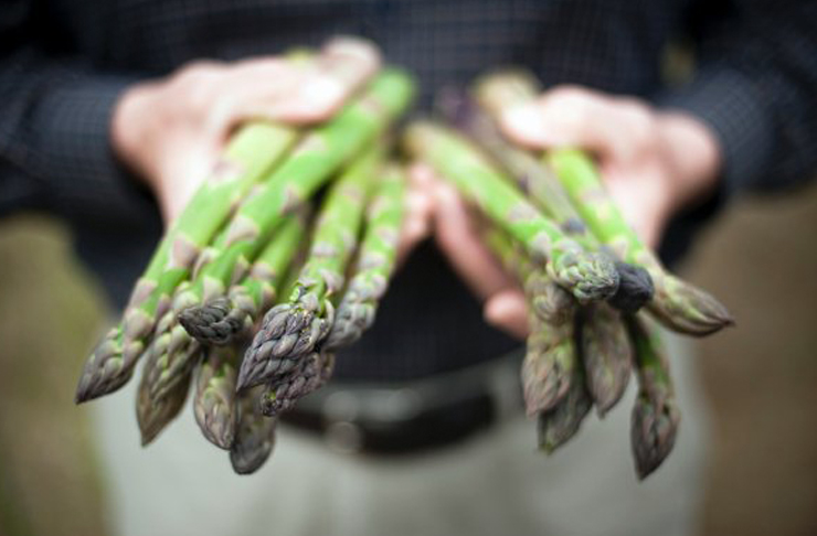A person holds two bunches of fresh, green asparagus'