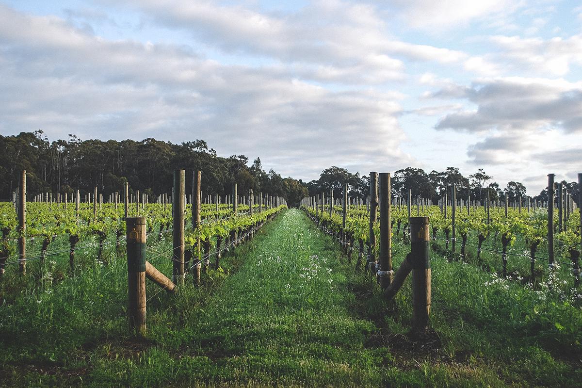 Voyager Estate Vines
