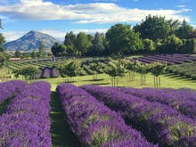 Up Your 'Gram Game At New Zealand's 8 Most Beautiful Lavender Farms