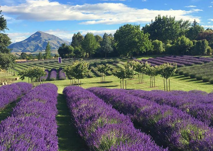 Up Your 'Gram Game At New Zealand's 10 Most Beautiful Lavender Farms