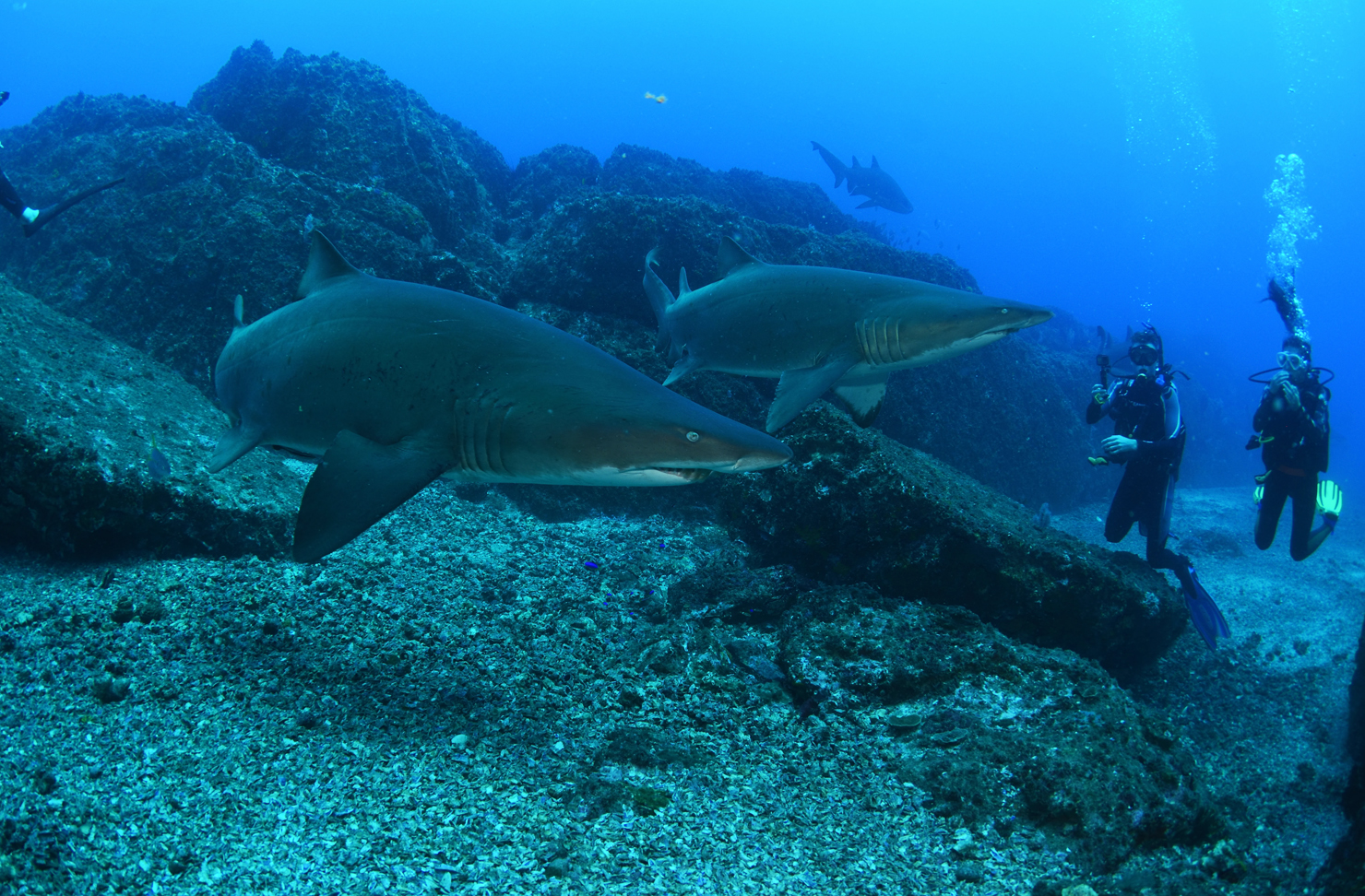 Divers swim with grey nurse sharks at Wolf Rock in Queensland.