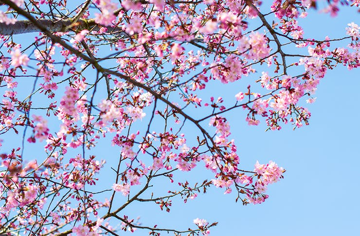 A Cherry Blossom Festival Is Coming To New Zealand!