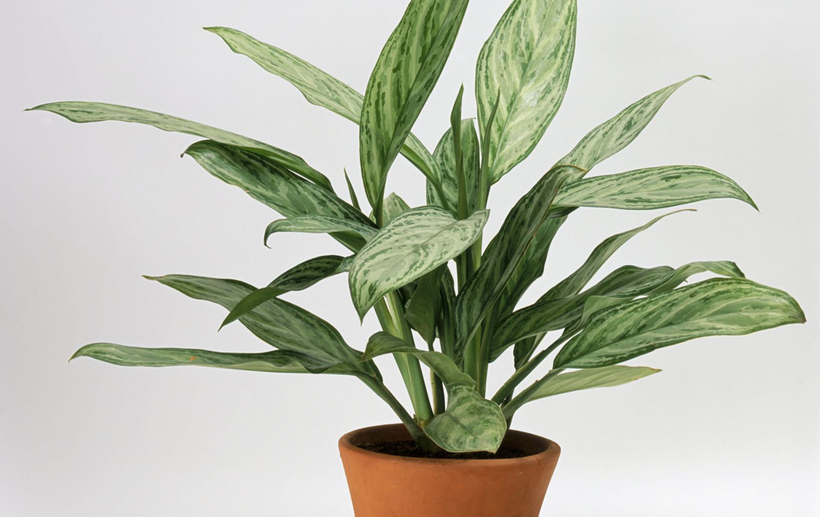 chinese evergreen_5