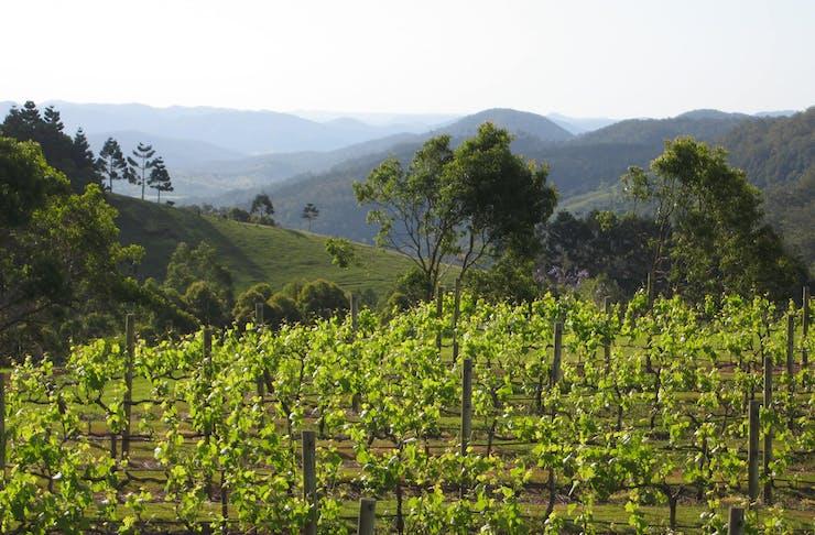 A shot of vividly green vines at Flamehill Vineyard.