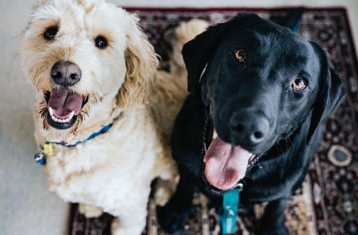 adopt a pet gold coast