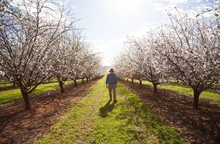 almond-blossom-victoria