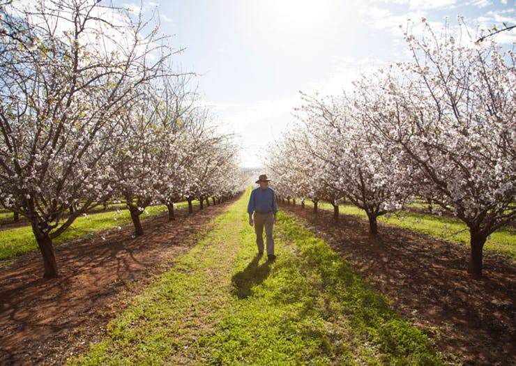 Here's Where To Find Almond Blossoms In Victoria