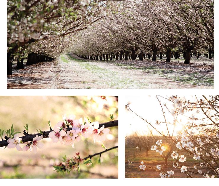 almond blossoms victoria