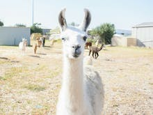 Attention, You Can Now Adopt Your Very Own Llama