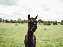 There's An Alpaca Festival In Western Victoria This Weekend
