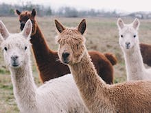 Grab A Blanket, You Can Picnic With An Alpaca At This Scenic Rim Winery