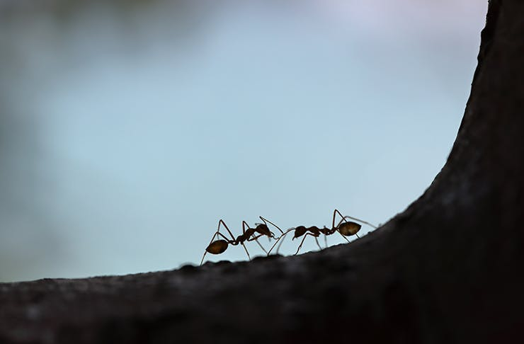 Two ants facing each other on a piece of bark.