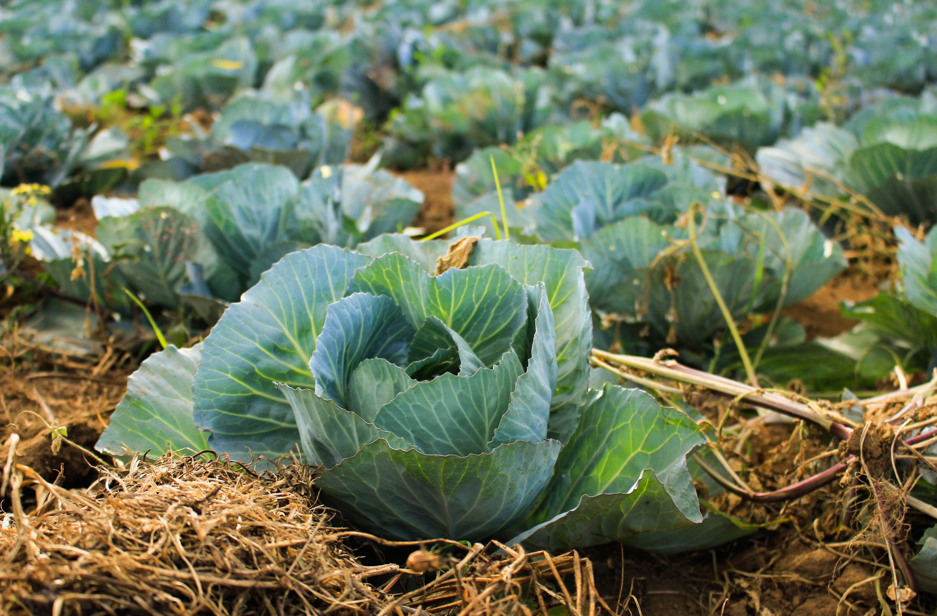 Cabbages planted in rows, ready to be picked