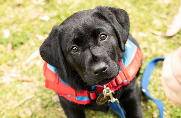A chocolate Labrador puppy looking into the camera.