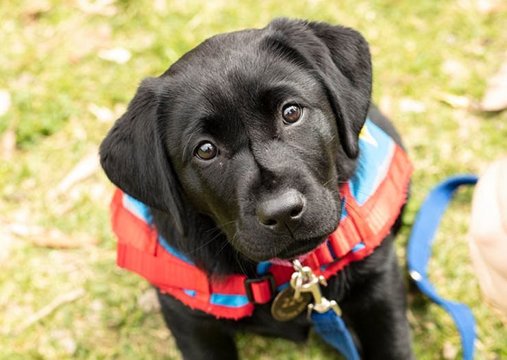 Assistance Dogs Australia Is Looking For People To Look After Their Pups In Training For A Year